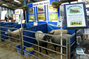 Millside Blue Texels at Northsheep 2011